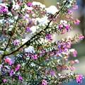 写真: エリカ 雪に咲く