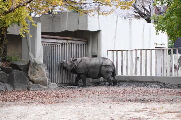 サイ(東山動物園) (2)