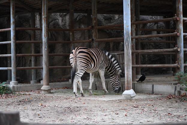 シマウマ(東山動物園)
