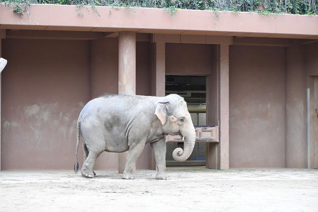 ゾウ(東山動物園)