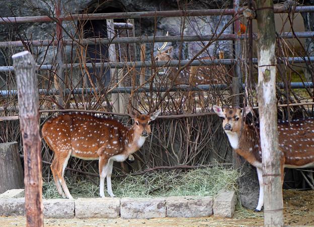 シカ(東山動物園)