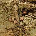 ウラゴマダラシジミの卵(南知多)
