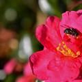 写真: ハエも花粉?