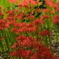 fleur de flammeches rouges