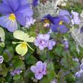 写真: 八重咲きバコパ ビオラ