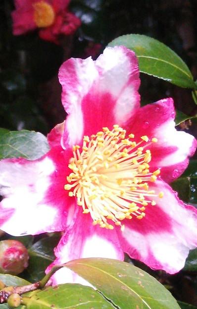 Photos: 雨上がりの……山茶花♪