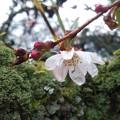 写真: 雨上がりの……四季桜♪