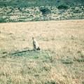 チーター 吾輩もネコ科であるI also belong to Felidae,Masai Mara