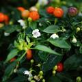 写真: トウガラシの花(ホットポップパープル)