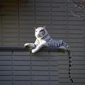 """写真: 「干してるだけなんですけど」""""White Tiger"""" 16122017"""