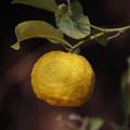 ユズ(柚子) 21012018