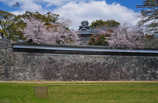 熊本城と桜