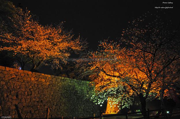 熊本城と桜 夜景