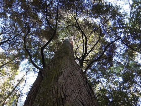 伊勢神宮内宮12 「アバター」の魂の木のような神宮杉
