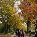 Photos: 黄葉の並木