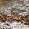 水流のアトリ