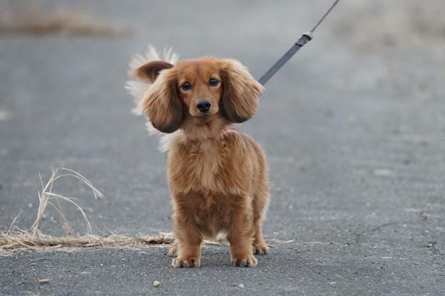 pz0433 散歩犬
