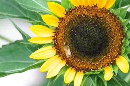 2014.07.06 和泉川 ヒマワリにミツバチ
