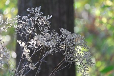 2014.11.19 追分市民の森 オトコエシ