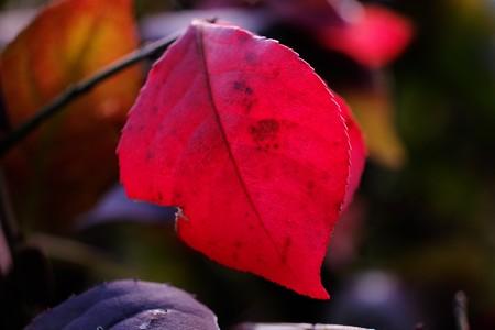 2014.11.21 追分市民の森 ニシキギ