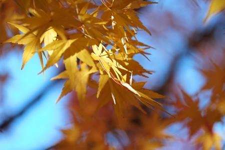 2014.12.02 和泉川 モミジ