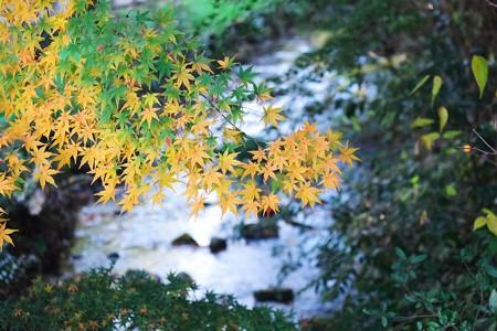 2014.12.05 帷子川親水緑道 流れの上に紅葉