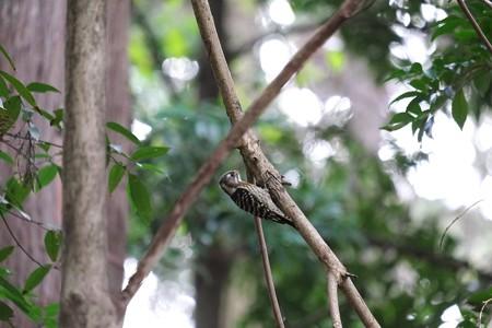 2014.12.10 瀬谷市民の森 コゲラ