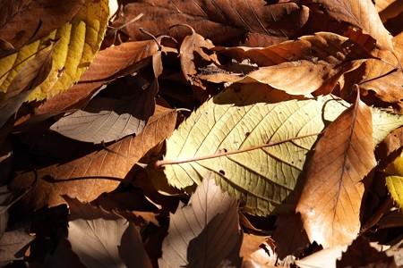 2014.12.15 瀬谷市民の森 落葉