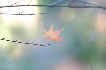 2014.12.17 和泉川 低気圧突風にモミジ