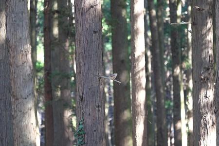 2015.01.13 瀬谷市民の森 百舌鳥 ファームウエアVer.2.40の成果