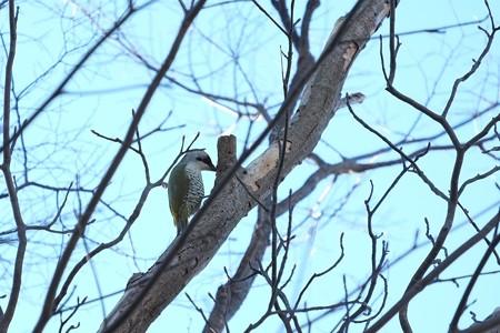 2015.01.16 和泉川 アオゲラ