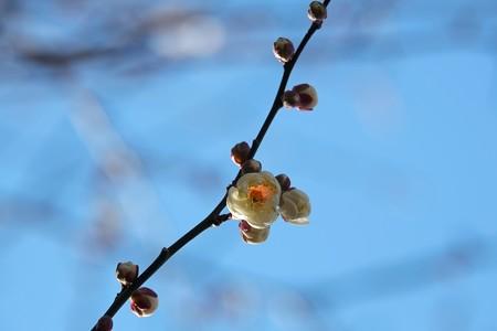 2015.01.16 和泉川 ウメ 一輪