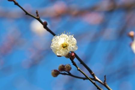 2015.01.16 和泉川 ウメ