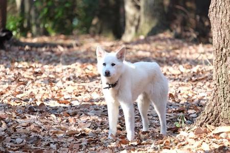 2015.01.17 瀬谷市民の森 白い犬