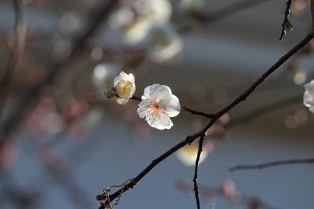 2015.01.25 和泉川 ハクバイ