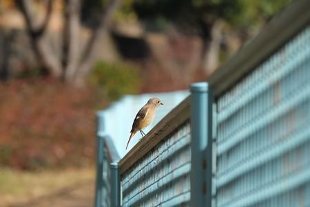 2015.01.27 和泉川 河川のフェンスにジョウビタキ