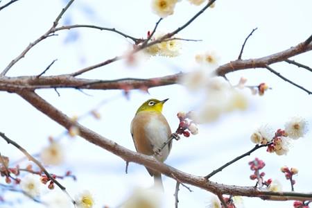2015.01.27 和泉川 梅へメジロ