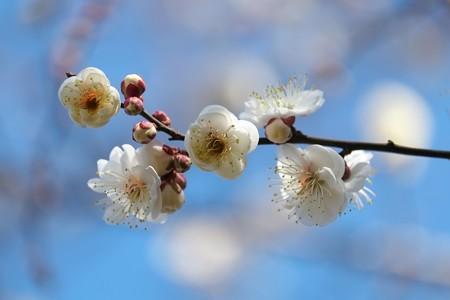 2015.01.29 和泉川 目白を待つ間にウメ