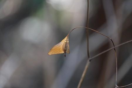 2015.02.02 瀬谷市民の森 シュウカイドウ