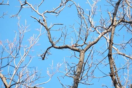 2015.02.04 瀬谷市民の森 アカゲラの居る風景
