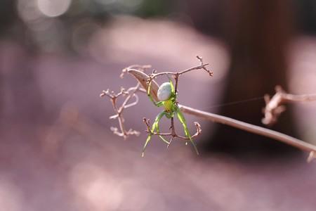 2015.02.04 瀬谷市民の森 ムラサキシキブにコハナグモ 老眼に若葉