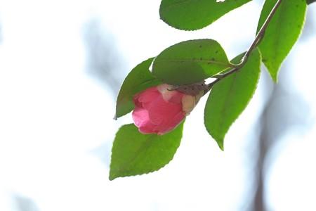 2015.02.04 瀬谷市民の森 ヤマツバキに枯葉