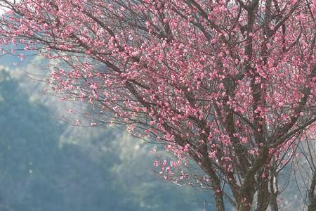 2015.02.04 追分市民の森 キャベツ畑 紅梅