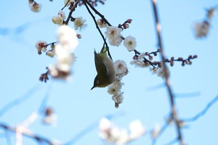 2015.02.06 和泉川 梅にメジロ 花蜜探し