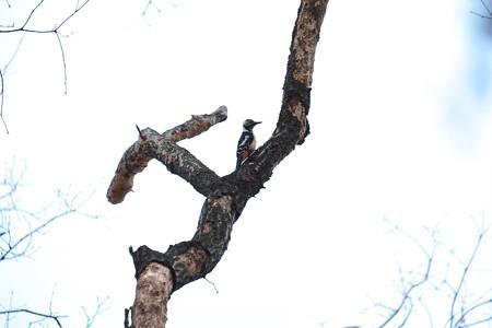 2015.02.13 瀬谷市民の森 アカゲラ