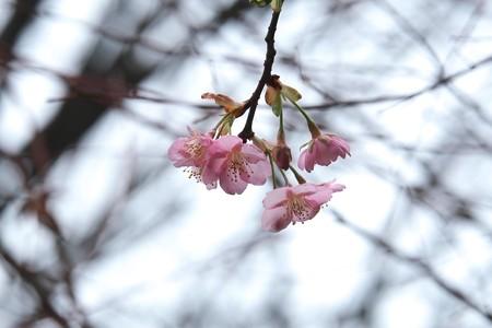 2015.02.24 長屋門公園 河津桜