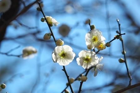 2015.03.02 大池公園 ウメ 古木