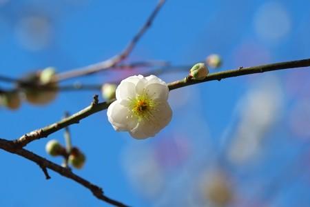 2015.03.02 大池公園 ウメ 緑