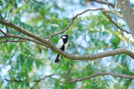 2017.09.05 和泉川 ねむの木にシジュウカラ