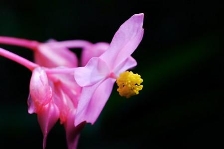 2017.09.09 瀬谷市民の森 シュウカイドウ